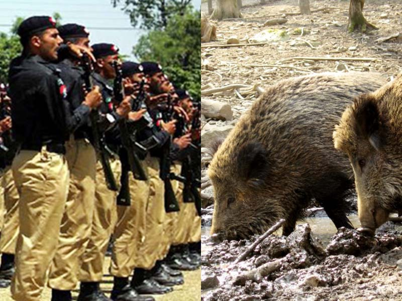 Cops in Sindh run for their lives after pigs 'takeover' police station