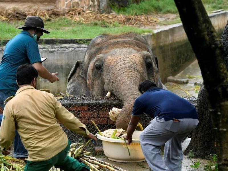 veterinarians give kaavan the elephant at the islamabad zoo a medical exam to determine the state of his health photo afp