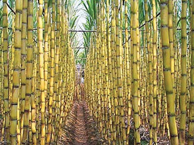 cane price sugar surplus bitter solution to the sweet problem