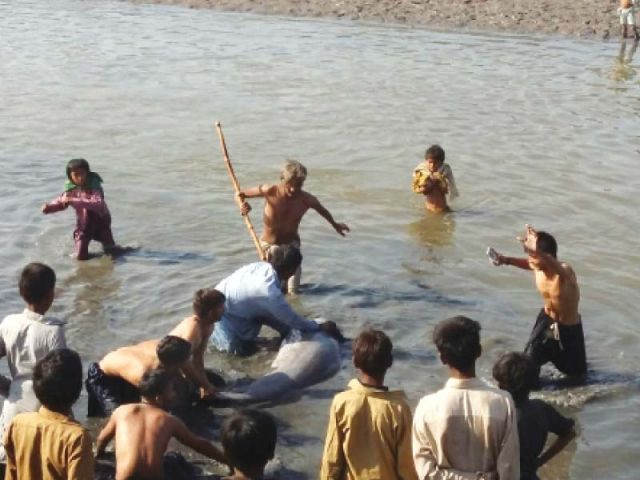 a recent example of attempts at profiteering using natural wildlife involves two indo pacific dolphins which villagers in gharo creek tried to capture and ended up injuring photo courtesy jahangir marri