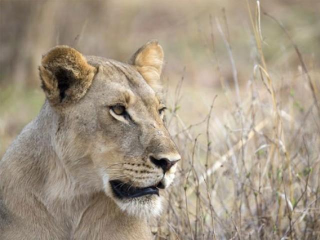 lioness found roaming streets of dubai