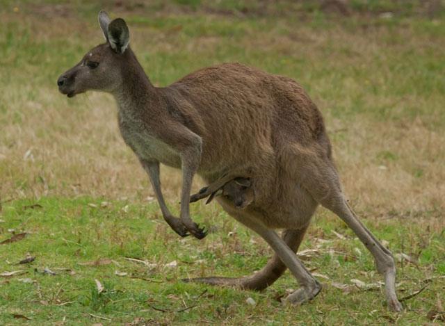 australian teen accused of planning kangaroo bomb reports