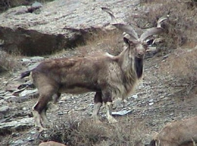 american hunts down markhor in chitral using a bow