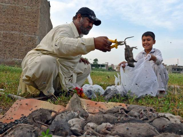 health care institutions urged to eradicate killer rodents
