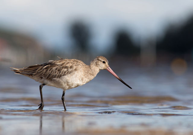 this undated handout photo from birdlife australia and received on april 8 2016 shows a bar tailed godwit feeding on a sandbar in merimbula in southern new south wales photo afp