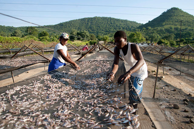 this file photo taken on february 20 2015 shows kapenta sales cooperative members spreading kapenta fish to dry in the sun on racks after a night of fishing on lake kariba in zimbabwe photo afp