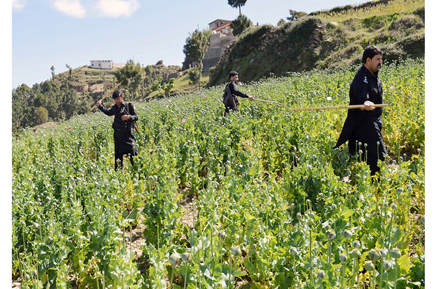 police officials seen destroying poppy crops photo nni