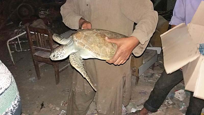 wildlife officials say marine turtles cannot survive in fresh water for more than two days photo courtesy home four paw and claw