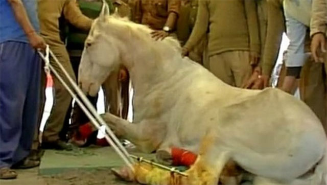shaktiman was fitted with a prosthetic limb reportedly rushed in from the united states photo twitter