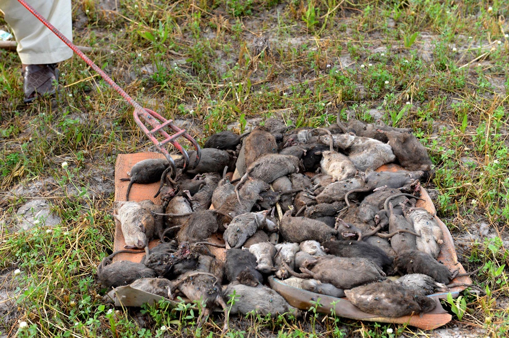 against rodents wssp says 7 500 rats killed in city