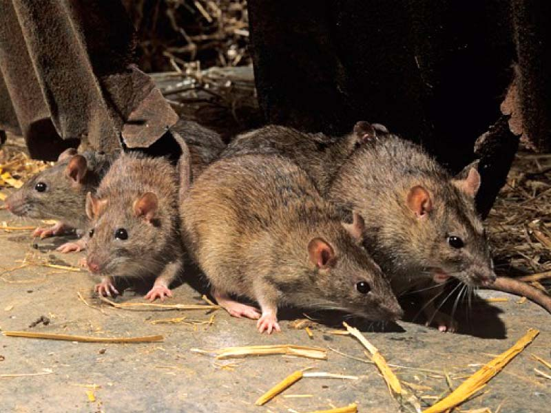 zoologists demand research needed to eliminate rats
