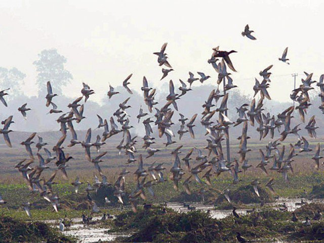 number of migratory birds has witnessed a declining trend in pakistan photo file