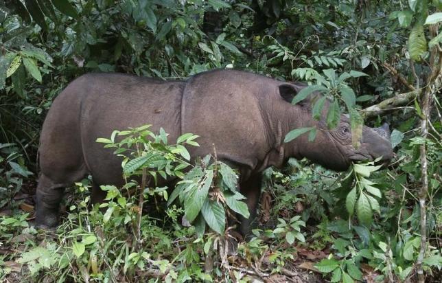 birth of rare sumatran rhino hailed as major boost