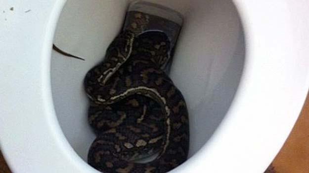 python bites thai man s penis in terrifying toilet encounter