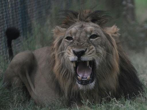 seven lion attacks in villages near the gir wildlife sanctuary in gujarat state have killed three people since march photo afp