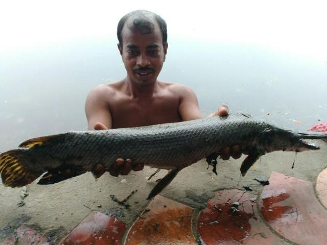 alligator like predator fish in kolkata waters threatens ecosystem