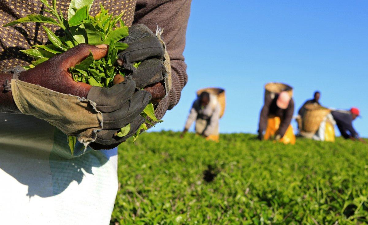 tanzanian tea import can save millions