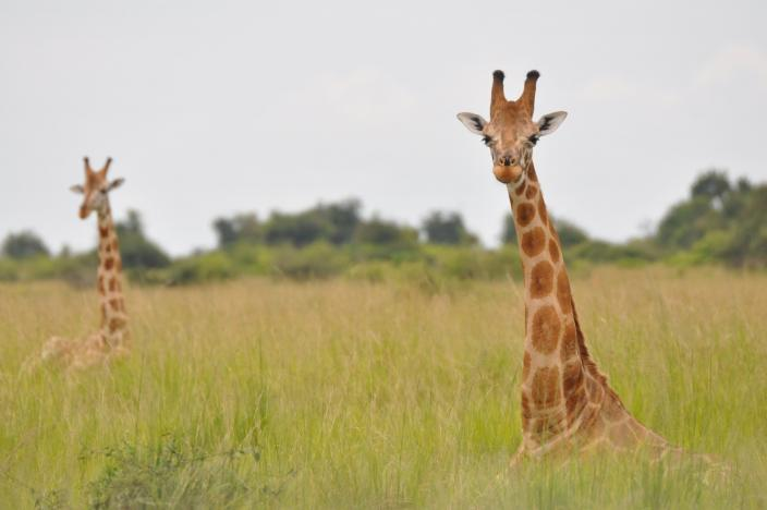 Nubian giraffes are seen in Murchison Falls, Uganda in this undated handout picture. PHOTO: REUTERS