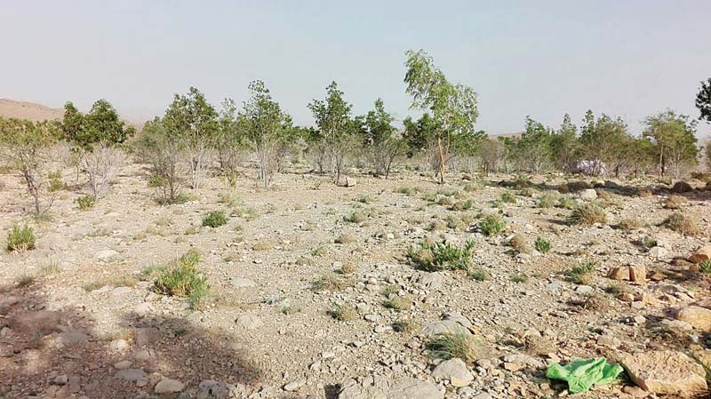 afforestation scheme at gorakh hills fails to bear fruit