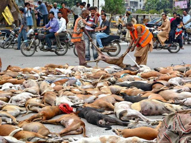 around 800 stray dogs were poisoned by karachi metropolitan corporation which was criticised by animal rights activists and was termed as violation of animal rights photo stock image