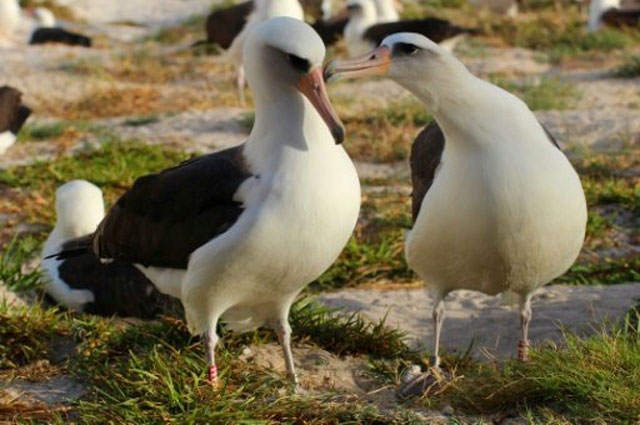 the oldest known seabird lays an egg at 66