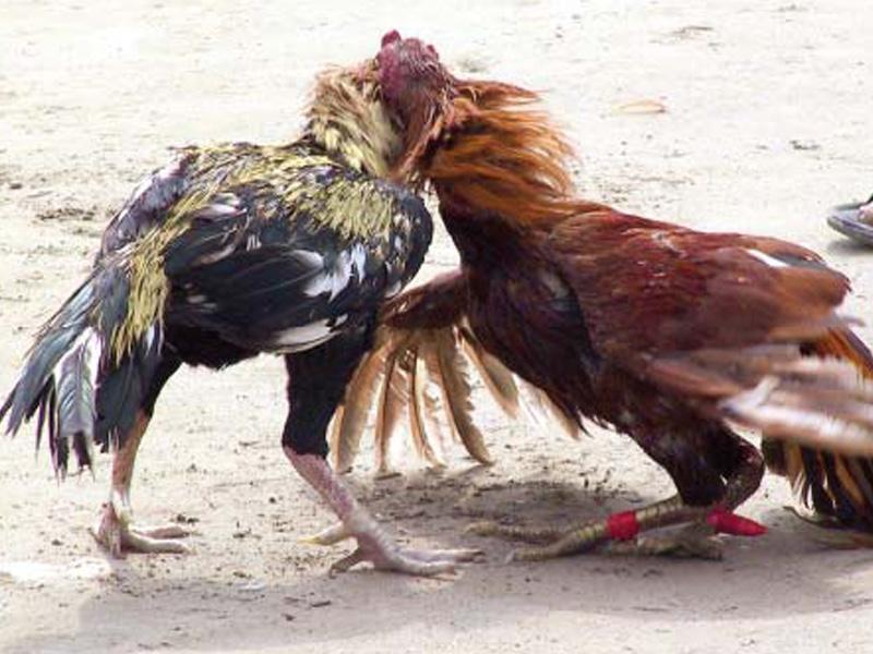 perverse pleasures plea challenging animal fights admitted