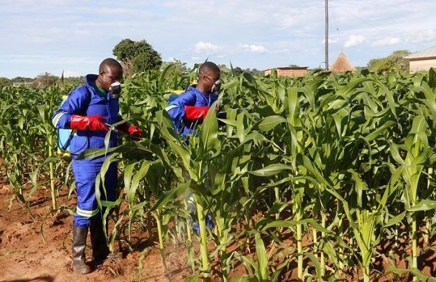 officials spray maize plants affected by armyworms in keembe district zambia january 6 2017 photo reuters