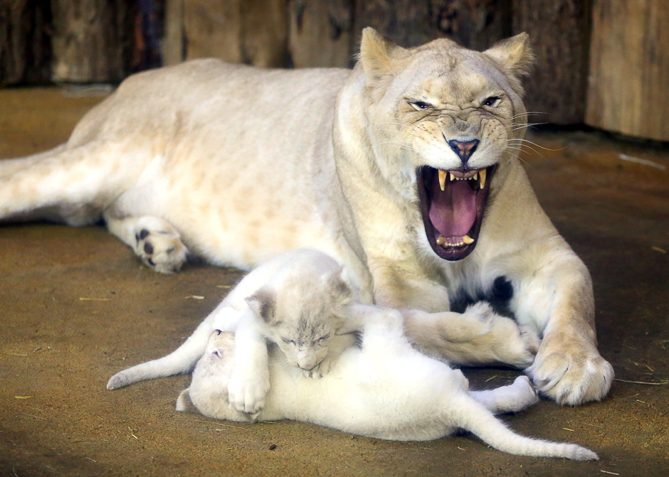 two white lion babies play with their mother quot kiara quot in the zoo in magdeburg eastern germany photo afp