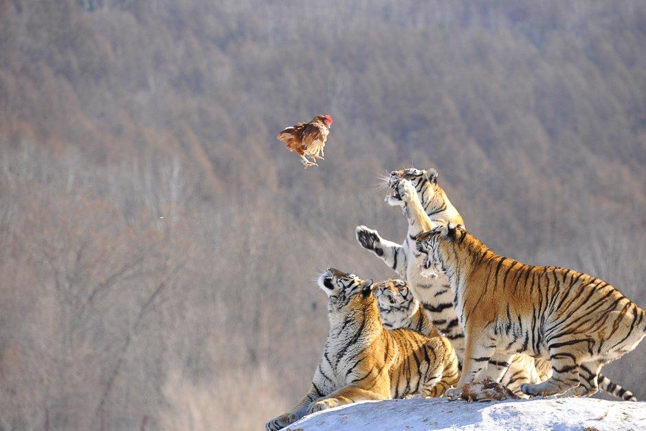 siberian tigers act to catch prey at a siberian tigers breeding base in mudanjiang heilongjiang province china photo reuters
