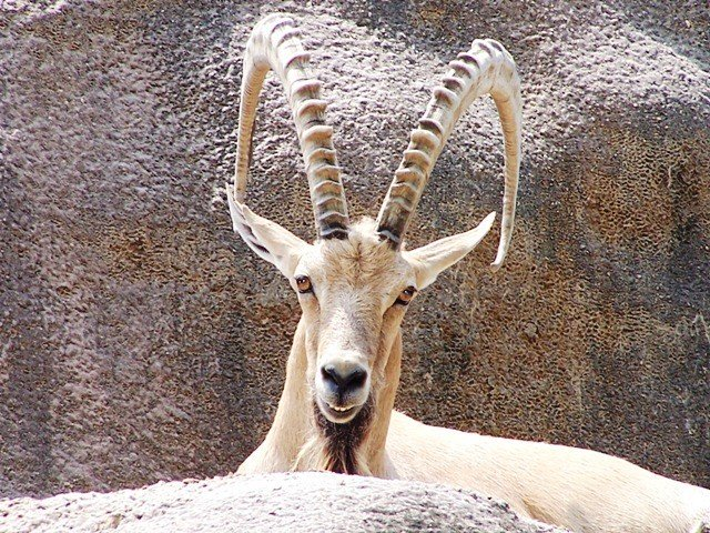 two suspects held in g b for illegal ibex hunt
