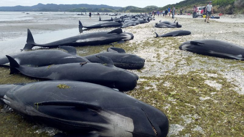 authorities now face the grim task of disposing of hundreds of whale carcasses photo afp
