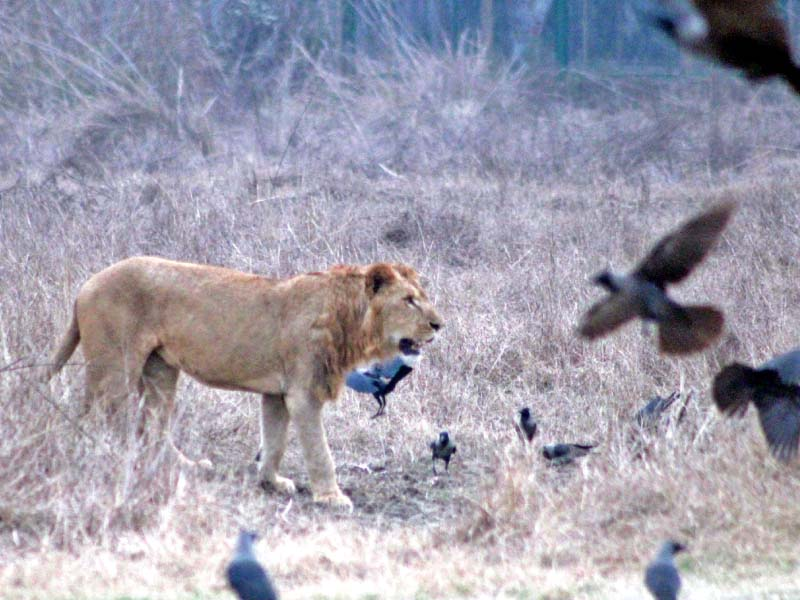 a lioness on the lookout for food in its enclosure an employee of the zoo safari shows different species of parrots a deer grazes in a field at the safari a white tiger walks inside a cage photo abid nawaz express
