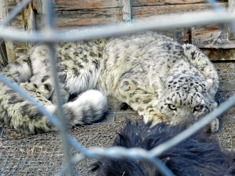 the captured snow leopard is caged in gojal before its release in the wild photo express