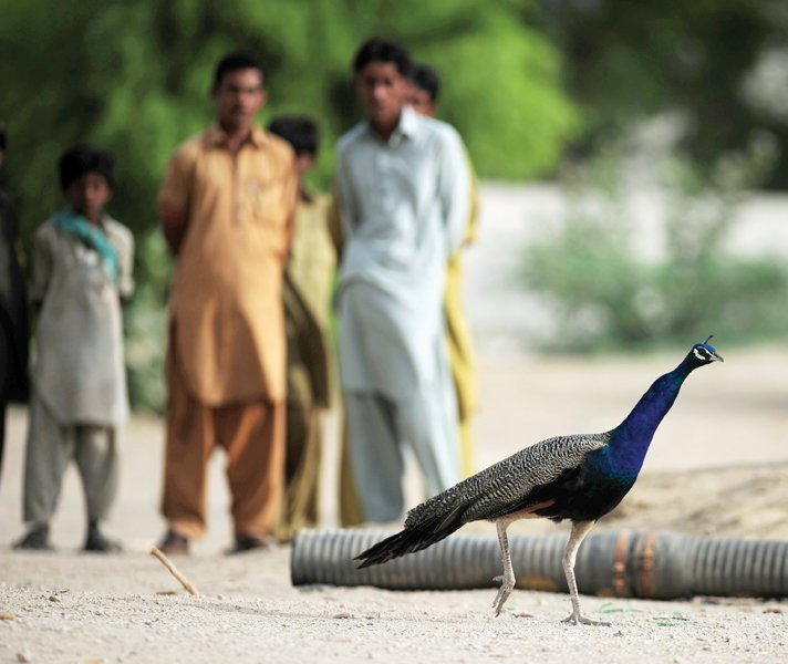 peacocks such as the one pictured above are native to tharparkar several of them have died in the past week as the authorities struggle to find out the cause behind these sudden deaths photo file