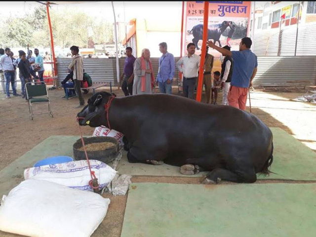 the buffalo is nine years old weighs approximately 730 kgs and is 11 5 feet long and 5 8 feet tall photo toi