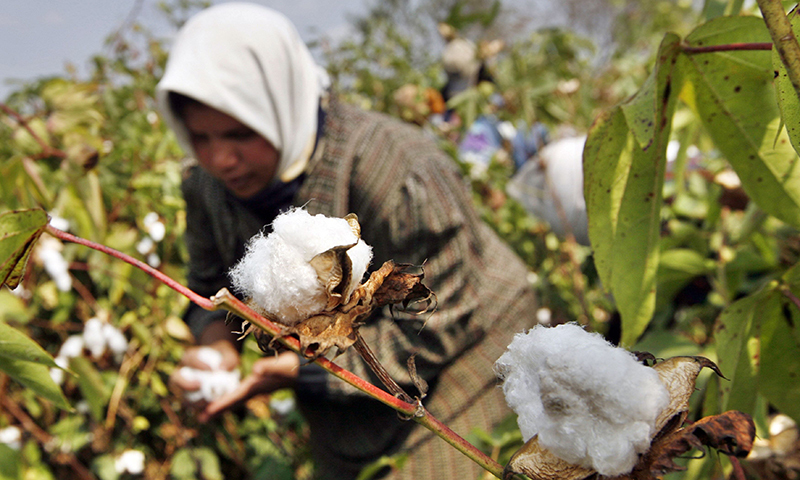 in this photo a farmer collects cotton harvest at a farm photo afp