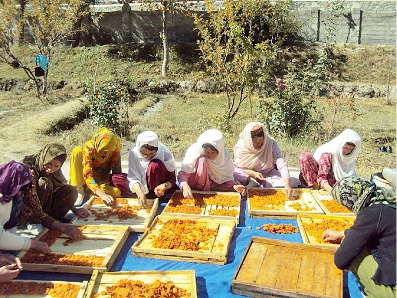 women dry apricots in sun under an aga khan rural support programme initiative photo file