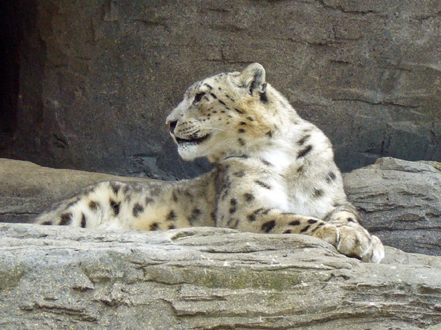 we will make all out efforts with conservationists and wildlife experts to save the snow leopard from extinction photo file