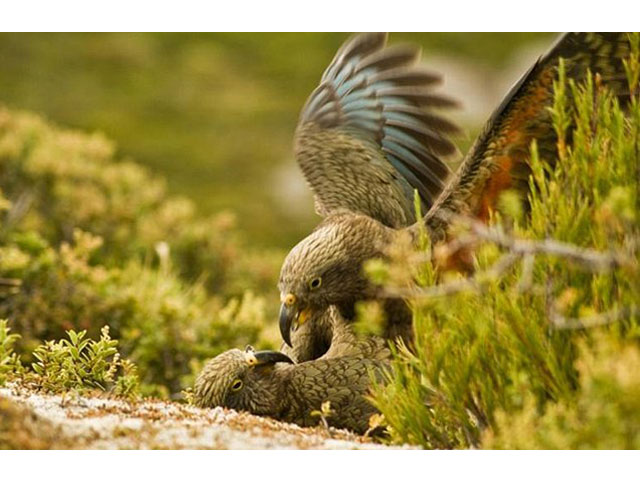 The kea parrot was found to have a 'play call' distinct from its other vocalisations. PHOTO: AFP