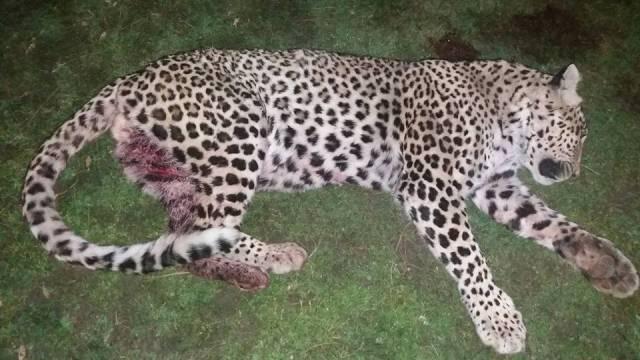 villagers kill leopard in ajk s leepa valley