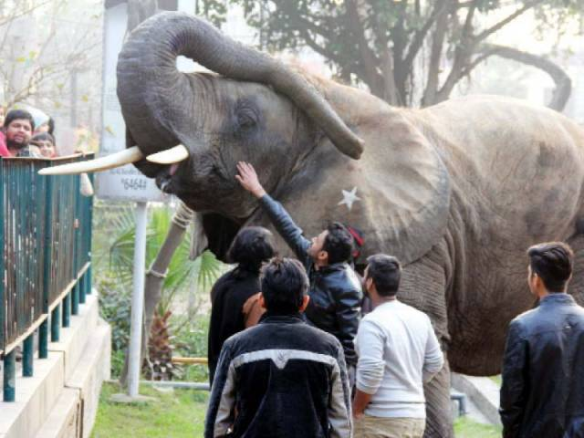 suzi raises her trunk as a group of zoo visitors pet her photo ayesha mir express