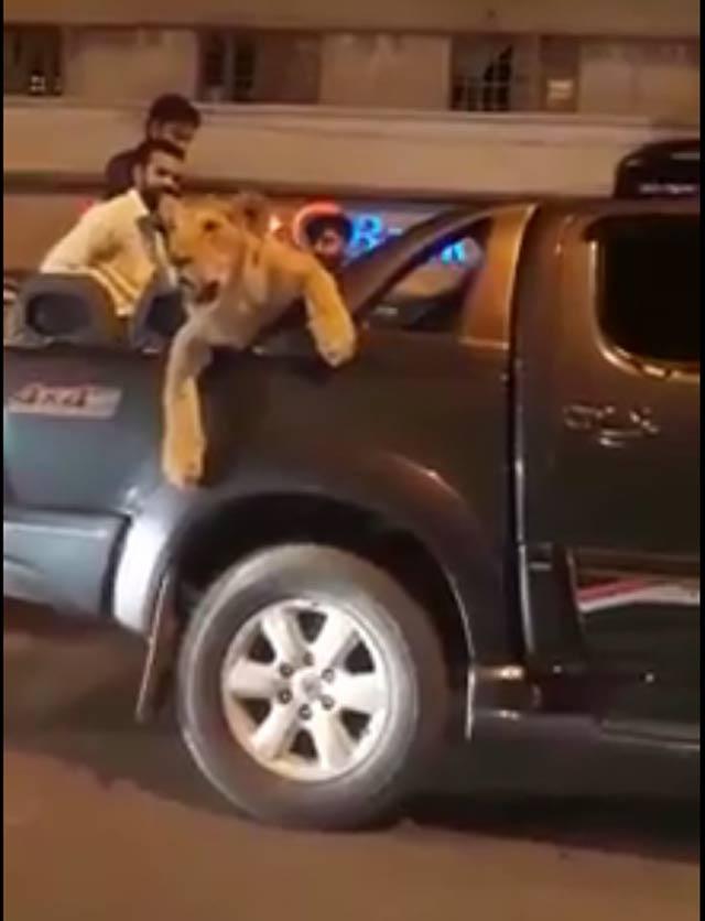 Saqlain was seen driving the lion around the streets of Karachi city in a Toyota Vigo. VIDEO SCREENGRAB