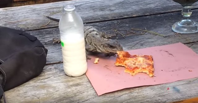 pizza iguana snatches a slice in mexico