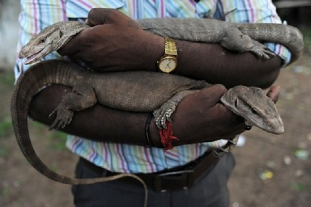 monitor lizards penises being used as talismans in india to boost sex drive