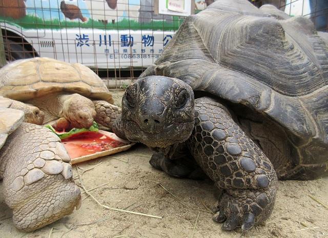 giant tortoise that fled japan zoo found 140 metres away