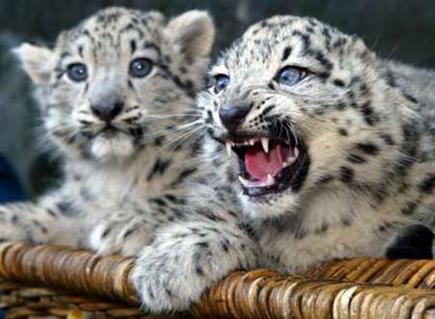 snow leopards angry over us pullout from paris deal