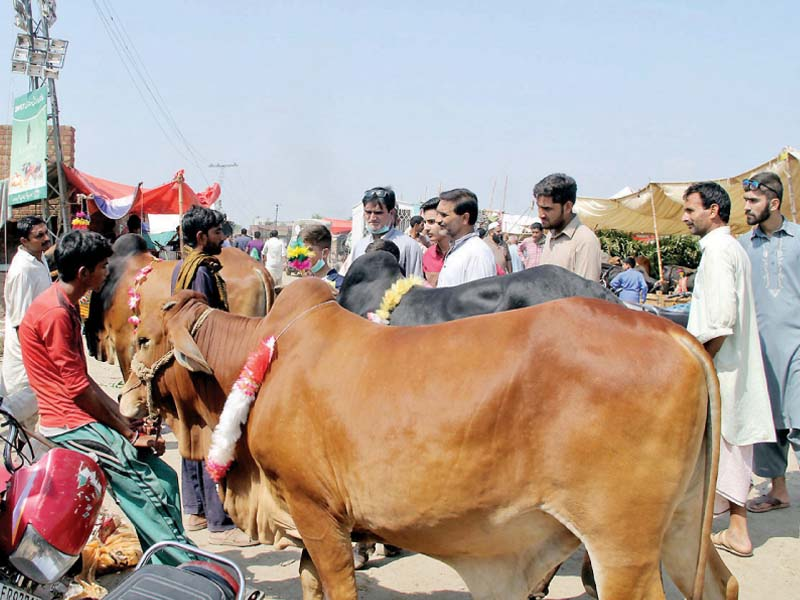 animal prices see a steep decline on eve of eid