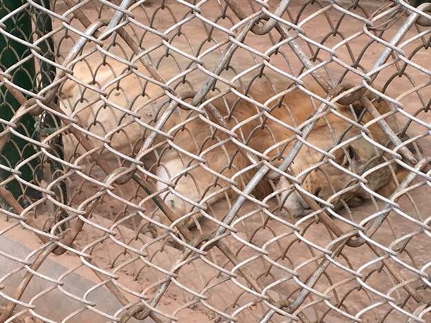 lion shifted from lahore to peshawar zoo falls sick