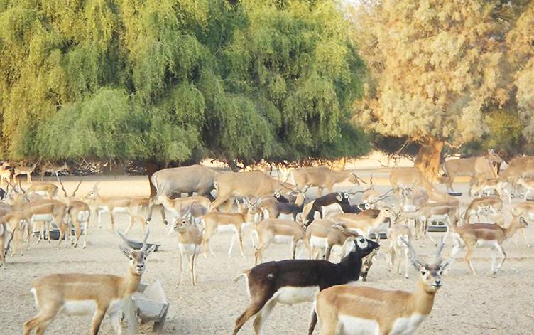 blackbucks and deer at lal suhanra national park photo nativepakistan com