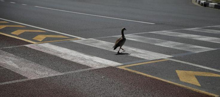 pedestrian road safety talking the talk but not walking the walk